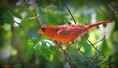 Male Cardinal (Suzanham) Tags: bird tree leaves bokeh cardinal male red nature wildlife mississippi starkville songbird cardinalidae passerine