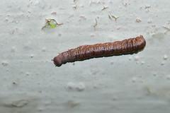 不知深啡色名毛蟲 (Jeffreycfy) Tags: animals wildlife nature nikon d500 insects nikkor300mmf4pf sb500 tc14eiii macro closeup lepidoptera caterpillar 昆蟲 鱗翅目 毛蟲