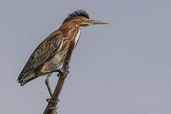 Green Heron (Kevin Fox D500) Tags: greenheron bird birding birdwatching birds bombayhookwildliferefuge bombayhook d500 delaware nature nikond500 nikon sigma150600sport sigma shorebirds heron