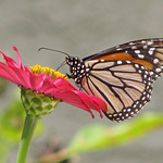 first Monarch of Fall - today !!! thumbnail