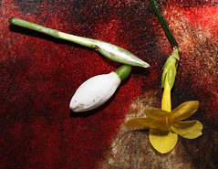 Still Life 7 (StJohn Smith1) Tags: closeup still life florl snowdrop daffodil gold