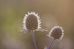 Abendlicht (Vasquezz) Tags: pflanze plant licht light blüte blossom distel edeldistel thegalaxy