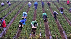 July28Image1051 (Michael T. Morales) Tags: strawberryharvest salinasvalley farmworkers harvesters stooplabor rowcrop fog montereycounty agriculture