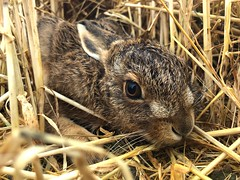 Leveret on an iPhone in Explore (Thomas Winstone) Tags: countryside country mammal nature scotland bbcspringwatch wildlife iphone leveret hare