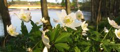 gullspång (helena.e) Tags: helenae gullspång husbil rv motorhome älsa vår spring anemonenemorosa woodanemone vitsippa vit white green grön water flower blomma bro