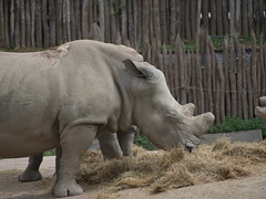 Rhinoceros (Sterminus) Tags: animal mammal wildlife nature large rhinoceros animalsinthewild outdoors africa endangeredspecies zoo herbivorous safarianimals asia horned younganimal thailand pairidaiza