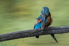 R18_9025 (ronald groenendijk) Tags: cronaldgroenendijk 2018 rgflickrrg alcedoatthis animal bird birds copyrightronaldgroenendijk europe groenendijk holland ijsvogel kingfisher martinpecheur nature natuur natuurfotografie netherlands outdoor ronaldgroenendijk vogel vogels wildlife