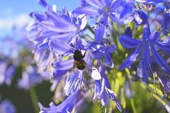 Colour My World (Robin Shepperson) Tags: bee flowers purple insect summer blue green d3400 nikon germany berlin nature wildlife pollination light garden garten britzer