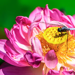 Dragonfly (Orthetrum albistylum) on Lotus Flower : 蓮にとまるシオカラトンボ thumbnail