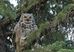 Great Horned Owl...#7 (Guy Lichter Photography - 4M views Thank you) Tags: owlgreathorned canon 5d3 canada manitoba winnipeg wildlife animal animals bird birds owl owls