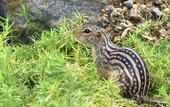 13 Striped Ground Squirrel (Vidterry) Tags: rodent squirrel 13stripedgroundsquirrel lowepark shotinthewild
