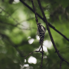 juvenile male downy woodpecker furiously pecking for insects. (amy buxton) Tags: amybuxton natural nature stlouis birds woodpecker downywoodpeckerpicoidespubescens summer garden juvenilemale