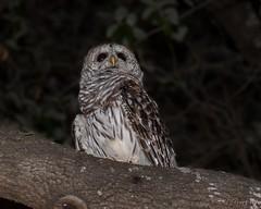 Night Owl (stevenpng) Tags: nightowl nikkor28300mmf3556gvr nikond750 nikon speedlight sb700