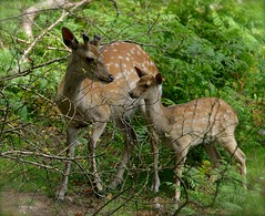 Mother And Child (Edinburgh Photography) Tags: nature outdoors animals deer forest kippford dumfriesshire nikon d7000