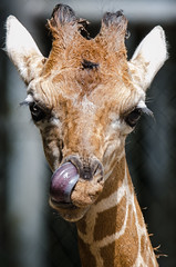 2018-07-29 (silare) Tags: lulu lick tongue nose silly child daughter baby young animal giraffe giraffacamelopardalisreticulata zoo woodlandparkzoo seattle washington