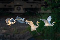TrainingFlight (jmishefske) Tags: 2018 wisconsin d850 train nikon flight burlington echolake bird august tracks great egret flying bif fly