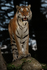 Dragan (yadrad) Tags: tiger amurtiger bigcats cats stripes ngc carnivore