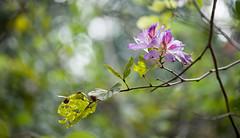 Belize | San Ignacio Botanical Garden • Purple flowers tree (Cyrielle Beaubois) Tags: 2018 belize cyriellebeaubois unbelizable centralamerica flower tree purple bokeh dof nature botanicalgarden sanignacio fleur tropical