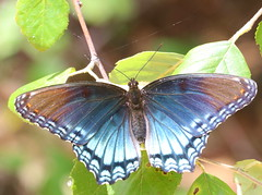 Red-spotted Purple at Capik Preserve (Tombo Pixels) Tags: capikpreserve capik181355 redspottedpurple redspotted purple butterfly middlesexcounty pinebarrens pinelands nj newjersey twb1
