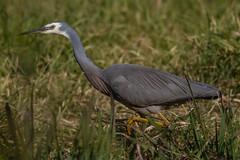 White-faced Heron (strictfunctor) Tags: ardeidae aves egrettanovaehollandiae heron pelecaniformes whitefacedheron bird whitefrontedheron