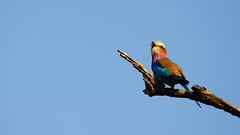 Beautiful Bird (C McCann) Tags: kruger national park southafrica lilac breasted roller beautifulbird
