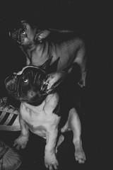 Walkies!  #wolfstory #walkies #graphic #frenchie #greetings #bigears #instagood #dogsofinstagram #puppylove #frenchbulldog #minimal #frenchielove #cutenessoverload #moodygrams #tea_journals #doglover #lightandshadow #puppy #art #bnw #streetphotography #bl (SoulButterflyz) Tags: noiretblanc walkies bnwrose moodygrams puppylove teajournals greetings streetphotography wolfstory minimal blackandwhite frenchbulldog lightandshadow graphic instagood frenchie art frenchielove bnw dogsofinstagram flickr cutenessoverload puppy doglover bigears bnwofourworld amateurbnw pet pets dog dogs