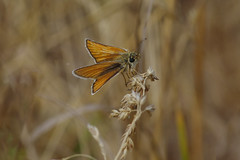 IMGP6151c Small Skipper, Devil's Dyke (Cambs), July 2018 (bobchappell55) Tags: devilsdyke cambridgeshire wild wildlife nature insect butterfly smallskipper thymelicussylvestris
