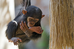 Hanging baby chimp (Tambako the Jaguar) Tags: chimpanzee chimp primate ape monkey young baby male cute hanging playing tree branch portrait loroparque tenerife spain nikon d5