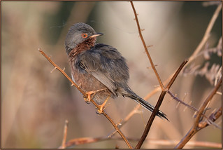 Dartford Warbler (image 1 of 3)