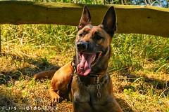 (flipsphotography) Tags: tiere tier mali schäferhund belgischerschäferhund malinois malli hunde hund animals animal dogs dog