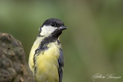 Great Tit (Parus Major) (PhasmatosOculus) Tags: august 2018 august2018 greattit parusmajor great tit parus major bird birds rivernene barnwellcountrypark barnwellpark barnwell country park northamptonshire wildlifeanimal wildlife animal animals wildlifeanimals matthewfarrugia matthew farrugia centricmalteser canon7dmkii canon 7d mkii eos7dmkii canoneos7dmkii eos canoneos eastanglia 7dmkii phasmatosoculus