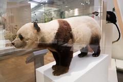 Giant Panda (quinet) Tags: 2017 canada ontario präparatoren rom royalontariomuseum toronto empaillage museum musée naturalhistory taxidermy 124