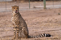 _DSC4824 (Ivan Lau) Tags: namibia cheetahconservationfund