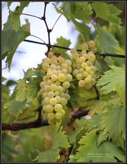 6699 Bot Vitis vinifera Vinova loza Common grape vine Rijeka (Morton1905) Tags: 6699bot vitisvinifera vinovaloza commongrapevine rijeka