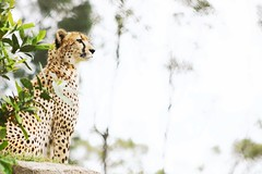 Vantage Point (MudMapImages) Tags: cheetah vulnerable conservation zoo endangered