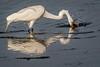 The Strike (bodro) Tags: bolsachica bird birdfishing birdphotography droplets ecologicalreserve featherdetails greategret lateafternoonlight reflection shallows splash strike wetlands