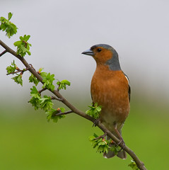 Chaffinch (Margaret S.S) Tags: finch male chaffinch eurasian