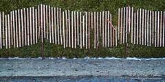 Hors saison, Clôture à neige (Aurelien Pottier) Tags: clôture fence haie hedge haiedecèdre horssaison offseason printemps springseason nature horizontal métissurmer metisbeach bassaintlaurent québec gaspepeninsula gaspésie canada bassaintlaurentquébec ca