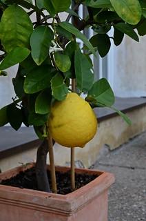 big lemon on a small tree ;)