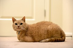 D60_1090 (stephenkirsch) Tags: nikon d600 70200mm afs g f28 oliver cat orange tabby cute kitty