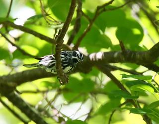 Black-&-White-Warbler-48w