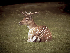 Getting ready for bed (peggy wein) Tags: horns whitespots brown fur sitting park bushy grass deer
