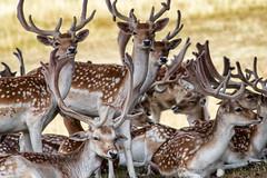 Young Bucks (jayneboo) Tags: fallow deer attingham park national trust herd wild bucks antlers