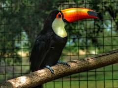 (sheeicai) Tags: bird tucan argentinaig naturephotography naturewizards nature naturelove naturepic natureaddict
