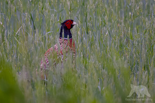 Ring-necked Pheasant #explored