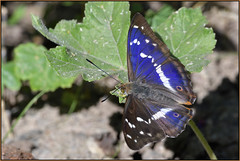 Purple Emperor (image 2 of 3) (Full Moon Images) Tags: fermyn wood wildlife nature reserve insect macro purple emperor butterfly