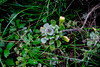 Aeonium Canariense (Liberosis) Tags: islascanarias canarias canaryislands grancanaria españa spain vegetacion plantas aeonium aeoniumcanariense verode verol bejeque autoctono