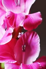 DSC_0720 Gladioli (PeaTJay) Tags: nikond750 sigma reading lowerearley berkshire macro micro closeups gardens indoors nature flora fauna plants flowers gladioli