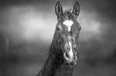 """The essential joy of being with horses is that it brings us in contact with the rare elements of grace, beauty, spirit and freedom.""~ Sharon Ralls Lemon (Lorrainemorris) Tags: lorrainemorris free nature feeling mood fineart artistic creative imagination horseportrait horses portrait soul eyes strong powerful graceful elegant wild blackandwhite animal woods mane 70200 sony7rm2 soft dreams painterly painting sony monochrome mono horse littledoglaughednoiret"