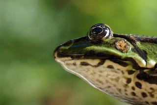 Frosch / frog (5)